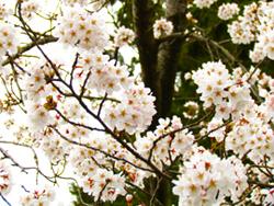 春満開の桜の様子